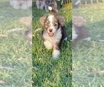 Puppy 6 Aussie-Poo