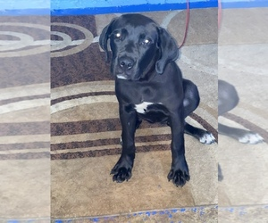 Cane Corso Puppy for sale in CANTON, OH, USA