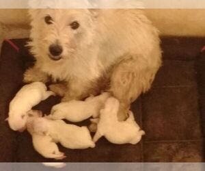 Mother of the West Highland White Terrier puppies born on 10/01/2019