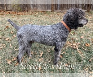 Father of the Sheepadoodle puppies born on 12/18/2020