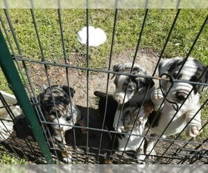 Australian Shepherd Puppy For Sale in COTTAGEVILLE, SC, USA