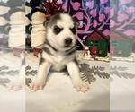 Small #12 Siberian Husky