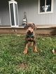 Doberman Pinscher Puppy For Sale in POST FALLS, ID, USA