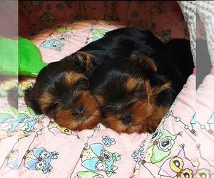 Yorkiepoo-Yorkshire Terrier Mix Puppy for sale in WESTLAND, MI, USA