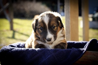 English Shepherd Puppy For Sale in PHILADELPHIA, MO, USA