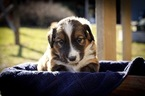 English Shepherd Puppy For Sale in PHILADELPHIA, MO, USA
