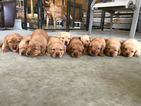 Labrador Retriever Puppy For Sale in CAIRO, MO, USA