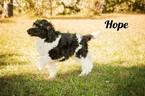 Poodle (Standard) Puppy For Sale in SAINT CLOUD, Minnesota,