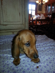 Dachshund Puppy For Sale in GARDEN GROVE, CA