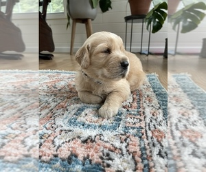 Golden Retriever Puppy for sale in ANTWERP, NY, USA