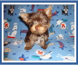 Yorkshire Terrier Puppy for sale in DELTONA, FL, USA