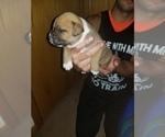 Small Photo #3 American Bulldog Puppy For Sale in DAVENPORT, IA, USA