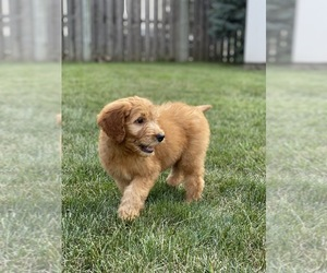 Goldendoodle Puppy for sale in BARTLETT, IL, USA