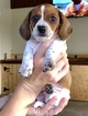 Dachshund Puppy For Sale in ALVA, FL, USA