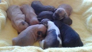 Havanese Puppy For Sale in PENSACOLA, FL