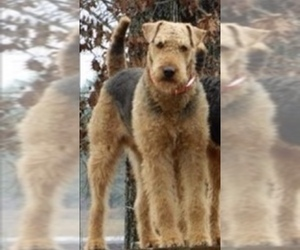 Father of the Airedale Terrier puppies born on 04/21/2020