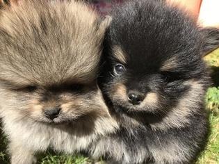 Pomeranian Puppy for sale in EDMONDS, WA, USA