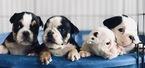 English Bulldogge Puppy For Sale in BAKERSFIELD, CA, USA