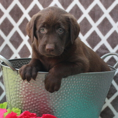 Labrador Retriever Puppy For Sale in GAP, PA, USA