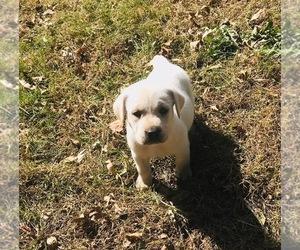 Labrador Retriever Puppy for sale in SALEM, SD, USA
