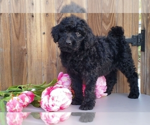 Bernedoodle Puppy for Sale in CHARM, Ohio USA