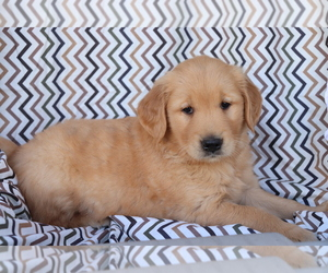 Golden Retriever Dog for Adoption in SHILOH, Ohio USA