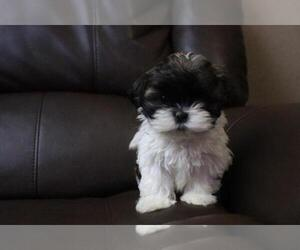 Shih Tzu Puppy for sale in HIALEAH, FL, USA