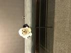 Maltese Puppy For Sale in ALEXANDRIA, VA, USA
