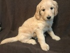 Goldendoodle Puppy For Sale in MACON, GA, USA