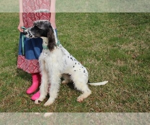 Dalmadoodle Puppy for sale in KINGSPORT, TN, USA