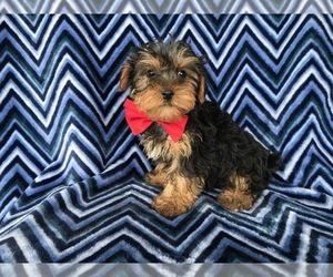 Yorkshire Terrier Puppy for Sale in NEW PROVIDENCE, Pennsylvania USA