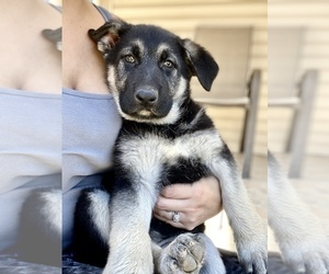 German Shepherd Dog Puppy for sale in FORT WORTH, TX, USA