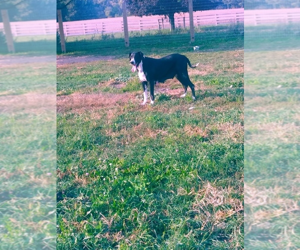 Medium Photo #2 Great Dane Puppy For Sale in SHIPSHEWANA, IN, USA