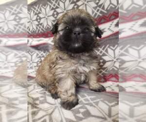 Shih Tzu Puppy for Sale in MOUNTAIN GROVE, Missouri USA
