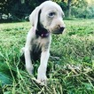 Weimaraner Puppy For Sale in JEFF CITY, Tennessee,