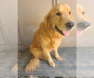 Father of the Golden Retriever puppies born on 10/14/2020