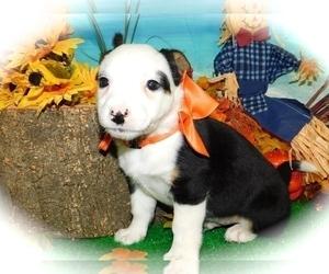 Border-Aussie-Rat Terrier Mix Puppy for Sale in HAMMOND, Indiana USA