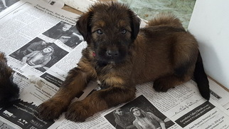 Briard Puppy For Sale in FRANKFORD, WV