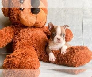 View Ad American Boston Bull Terrier Puppy For Sale Near North