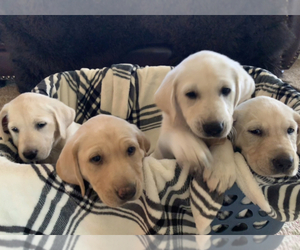 Labrador Retriever Puppy for sale in SHERIDAN, WY, USA