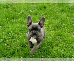 French Bulldog Puppy for sale in EASTON, PA, USA