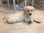 Labrador Retriever Puppy For Sale in GURNEE, IL