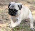 Pug Puppy For Sale in PORTLAND, OR,