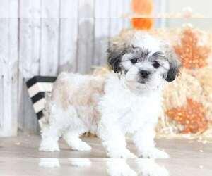 Zuchon Dog for Adoption in MOUNT VERNON, Ohio USA