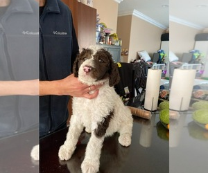 Poodle (Standard) Puppy for sale in WESTMINSTER, CA, USA