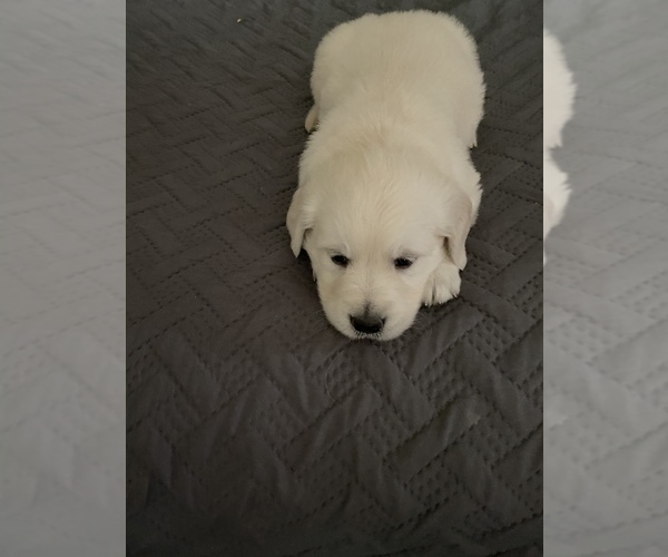 Full screen Photo #20 English Cream Golden Retriever Puppy For Sale in ARCHBALD, PA, USA