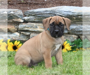 Boerboel Puppy for sale in HOLTWOOD, PA, USA