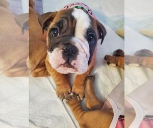 English Bulldog Puppy for sale in NEWPORT NEWS, VA, USA