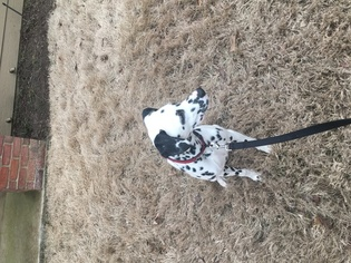 Dalmatian Puppy For Sale in CORDOVA, TN, USA