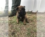 Small Photo #7 Belgian Malinois Puppy For Sale in WAYCROSS, GA, USA